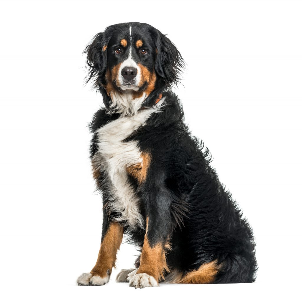 Bernese-Mountain-Dog-image-1-1-1024x1009