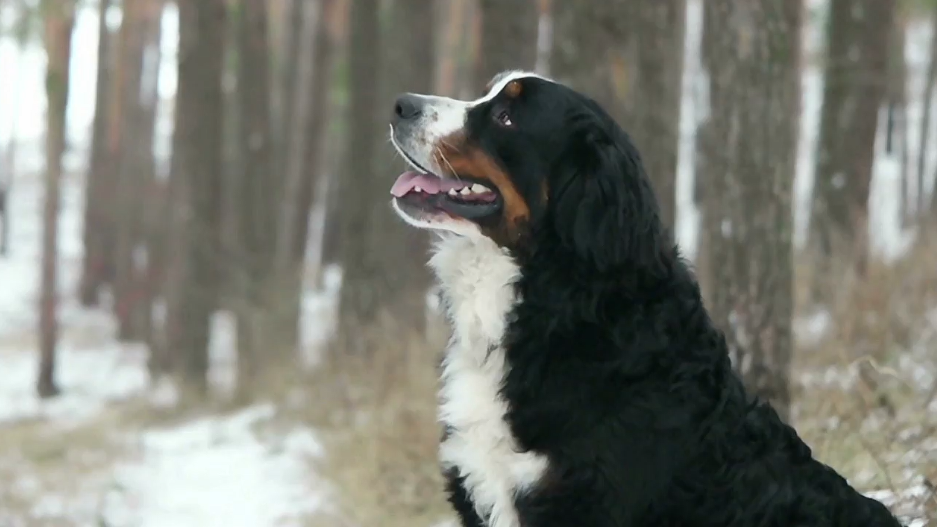 PayPro Bernese Mountain Dog